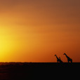 1999, Etosha National Park, Namibia --- Giraffe Herd at Sunset --- Image by © Paul A. Souders/CORBIS